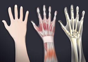 hand-muscles-and-joints