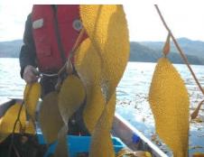 seaweed_harvesting